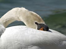 Resting Swan Royalty Free Stock Photos
