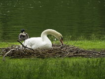 Resting Swan Stock Photo