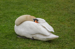 Resting Swan Royalty Free Stock Images