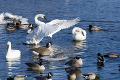 Resting Swans Royalty Free Stock Photography