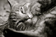 Resting Tabby Cat Royalty Free Stock Photo