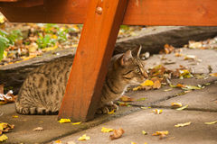 Resting tabby cat Stock Image