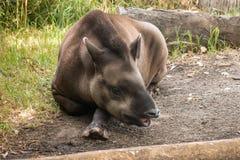 Resting tapir Royalty Free Stock Images