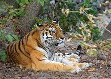 Resting tiger Stock Photo