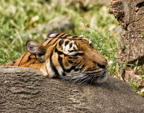 Resting Tiger. Weary tiger resting his head on a rock Stock Images