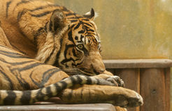 Resting tiger. It is tiger resting on a wooden bench Stock Images