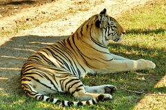 Resting Tiger. Resting bengal tiger in park royalty free stock photography