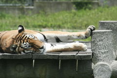 Resting Tiger. A tiger resting in the afternoon sun stock images