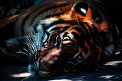 Resting tiger Stock Image