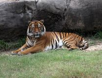 Resting Tiger. Tiger laying down resting under rock Royalty Free Stock Photography