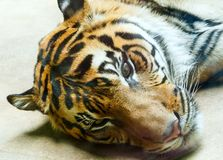 Resting tiger. Beautiful strong striped resting tiger closeup Stock Photography
