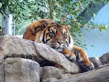 Resting tiger at Denver aquarium royalty free stock image