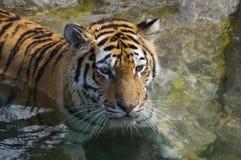 Resting Tiger (Panthera tigris altaica) Royalty Free Stock Image