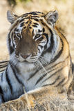 Resting tiger Royalty Free Stock Images