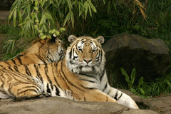 Resting tigers. 2 Tigers resting side by side in a peaceful setting Stock Images