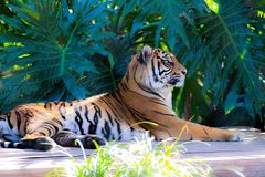Resting Tigers in the Bushes stock photography