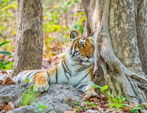 Resting Tigress Royalty Free Stock Images
