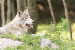 Resting Timber Wolf in the woods royalty free stock image