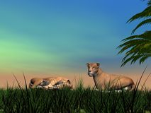 Resting time for lionesses Royalty Free Stock Image