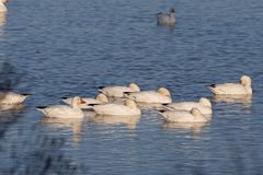 Resting time for snow geese Royalty Free Stock Images