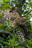 Resting in tree. Young male leopard cub resting in tree Stock Images