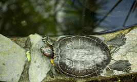 Resting turtle Stock Images