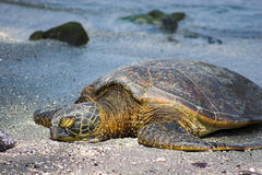 Resting turtle Stock Photography