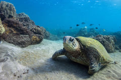 Resting Turtle. A green sea turtle rests on the sea bed Royalty Free Stock Image
