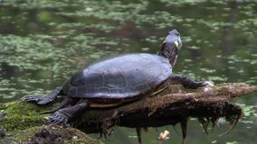 A resting turtle on a log stock video