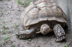 Resting turtle in a zoo habitat. Relaxes outside of his very large shell royalty free stock photography