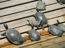 Resting turtles on wood Stock Photo