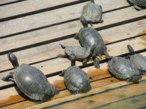 Resting turtles on wood Stock Photo
