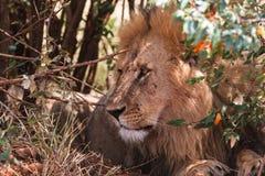 Resting under a bush african lion. Masai Mara, Kenya. Africa Royalty Free Stock Images