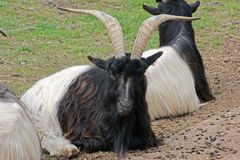 Resting Valais Blackneck goats Stock Image