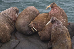 Resting Walrus. Walrus haul out to rest on Flat Rock, Round Island state Game sanctuary in Alaska Royalty Free Stock Photography