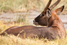 Resting Waterbuck. A male Waterbuck (Kobus ellipsiprymnus) rests on the grass at Lake Nakuru National Park in Kenya Royalty Free Stock Photos