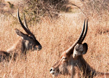 Resting Waterbuck (Kobus ellipsiprymnus) (0339) Royalty Free Stock Images