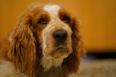 Resting welsh springer spaniel dog royalty free stock photo