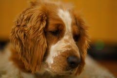 Resting welsh springer spaniel dog stock photo