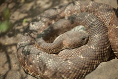 Resting Western Diamondback Rattlesnake Stock Photography