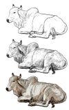 Resting white cow,American Brahman Stock Photos