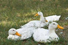 Resting White Ducks Stock Images