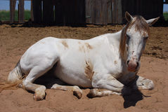 Resting White Horse. A white horse resting in the dirt royalty free stock photography