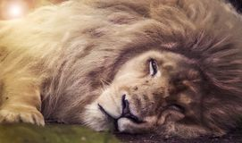 Resting white lion. Closeup of a resting male white lion Stock Photos