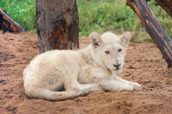 Resting white lion cub Royalty Free Stock Images