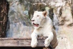 Resting white lion. White lion resting on wood Stock Photo