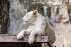 Resting white lion Stock Image