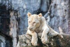 Resting white lion. White lion resting on wood Stock Photos
