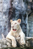 Resting white lion. White lion resting on wood Royalty Free Stock Photo