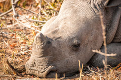 Resting White rhino in the Kruger National Park, South Africa. stock photography